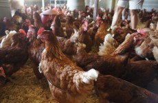 Rhode Island red chickens at Lake Meadow Naturals