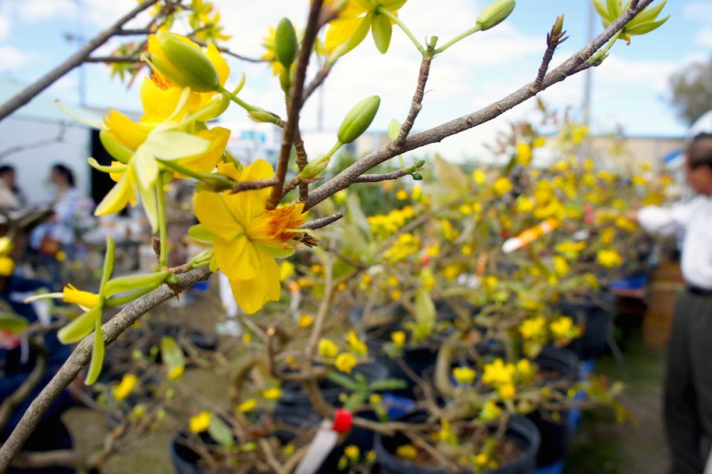 Mai tree, the symbol of spring for the Vietnamese