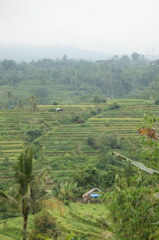 Terraced rice fields in Ubud, Bali